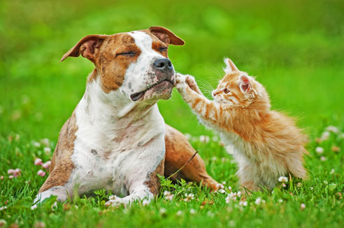 Der American Staffordshire Terrier ist verschmust, hat aber auch einen durchsetzungsstarken Charakter.