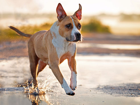 Das Wesen des American Staffordshire Terrier wird oft zu Unrecht als aggressiv beschrieben. Gut sozialisiert ist er ein friedliebender Hund.