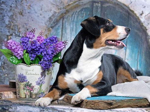 Der Appenzeller Sennenhund zeichnet sich durch hohe Intelligenz und einen wachsamen Charakter als perfekter Hütehund aus.