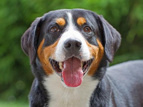Appenzeller Sennenhund 2020 Charakter Wesen Hunde Fan De
