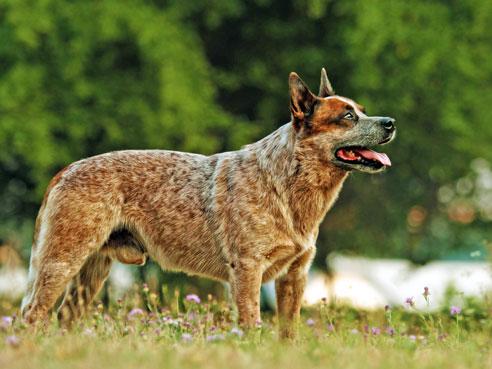 Australian Cattle Dogs haben eine ausgeglichenen Charakter, wenn sie genügend ausgelastet und beschäftigt werden..