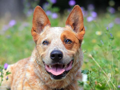 Australian Cattle Dogs sind robuste, unermüdliche und zuverlässige Hütehunde.