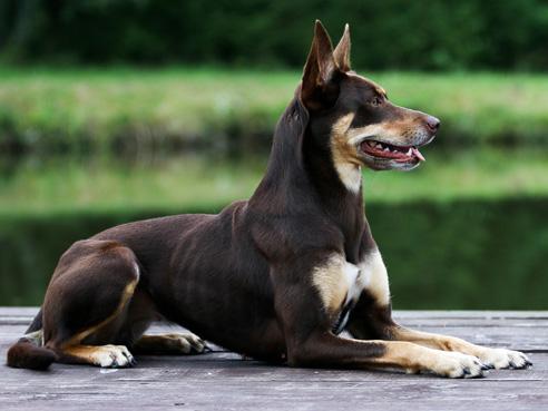 Das Wesen des Australian Kelpies lässt sich als selbstsicher und temperamentvoll beschreiben. Er braucht viel Auslauf und liebt Hundesportarten wie Agility.