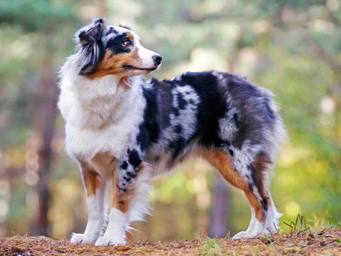 Australian Shepherds haben einen leicht erziehbaren Charakter. Es gibt den Hund in einer Vielzahl von Fellfarben, jeder Hund hat ein eigenes Aussehen.