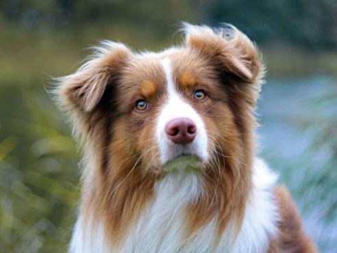 Australian Shepherd 2020 Charakter Wesen Hunde Fan De