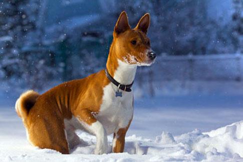 Basenjis sollten im Winter ein Mäntelchen targen.
