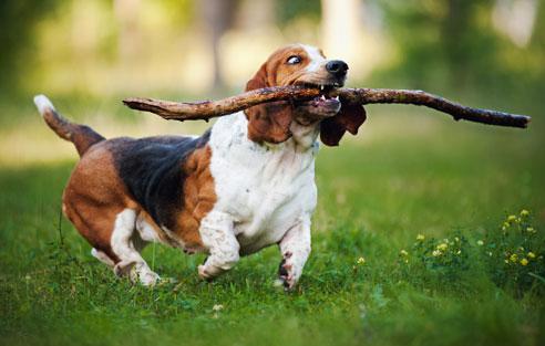 Das Wesen des Basset Hounds kann definitv nicht als sportlich bezeichnet werden. Er bevorzugt gemütliche Spaziergänge und genüssliches Schnüffeln.