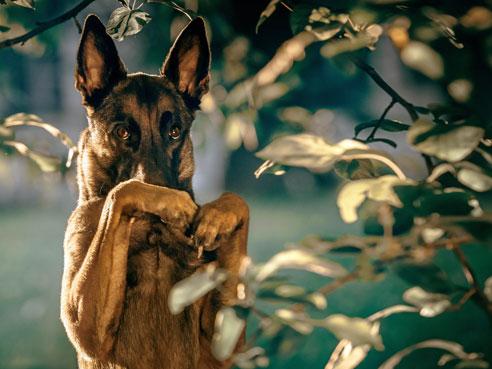Belgische Schäferhunde brauchen unbedingt eine konsequente Erziehung und müssen entsprechend ausgelastet werden.