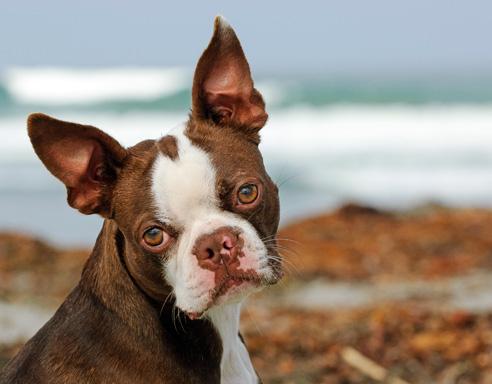 Der Boston Terrier wird oft mit der Französischen Bulldogge verwechselt. Die Rasse ist vergleichsweise einfach zu erziehen.