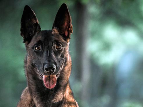 Der Malinois ist die bekannteste Varietät des Belgischen Schäferhundes.