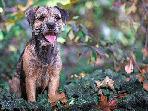 Border Terrier 2020 Charakter Wesen Erziehung Hunde Fan De